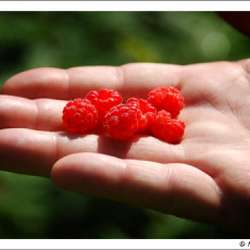 A Burst of Nature's Sugar – Wild Rasberries in SD