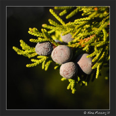 Wild Turkeys And Juniper Berries – South Llano, TX