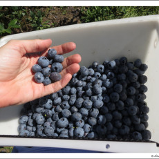 Blueberries, Blueberries, Blueberries!