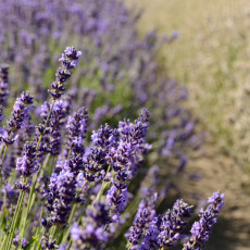 Discovering Sequim Part II – Lavender Soul