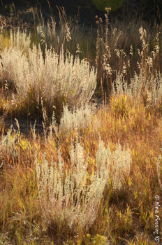 Lots of golden grass in Eastern Colorado