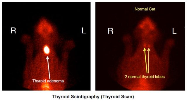 Taggart's thyroid scan (on left) compared to a normal cat (on right). Her tumor was