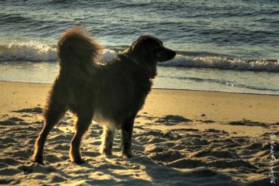 Polly enjoys a pristine AM on Ocracoke Beach